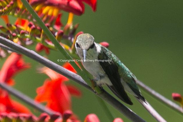 Hummingbird #19