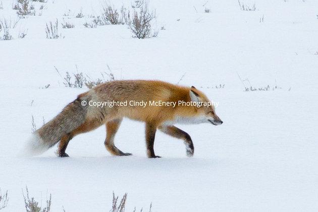 Yellowstone Fox #1