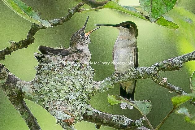 Hummingbird #14