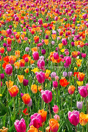 Tulips #9 | Holland