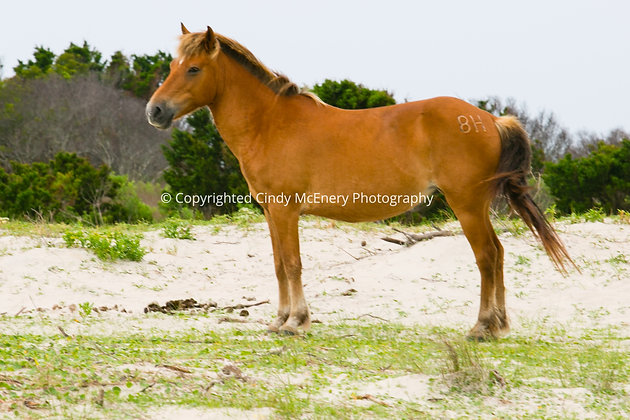 Shackleford Island #3