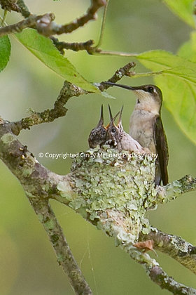 Hummingbird #6