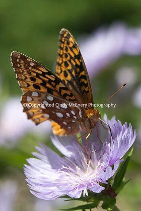 Butterflies #11