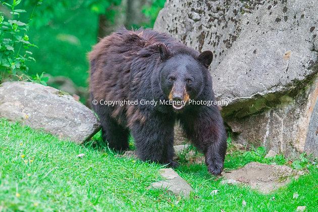Grandfather Bear #3