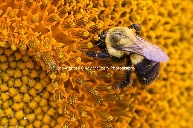 Raleigh Sunflowers #12