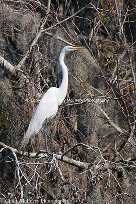 Jekyll Island Heron #2