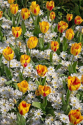Tulips #8 | Holland