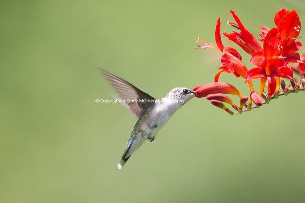 Hummingbird #17
