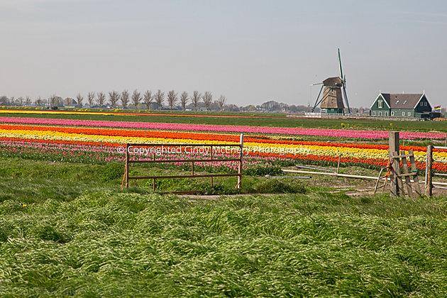 Tulips #1 | Holland
