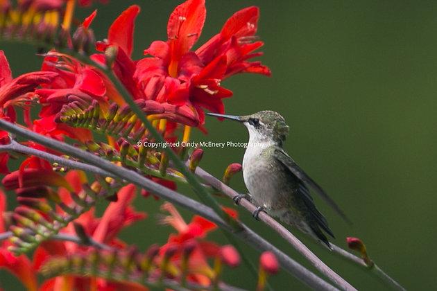 Hummingbird #18