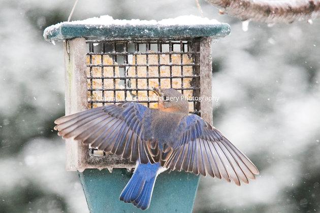 Winter Bluebirds #6