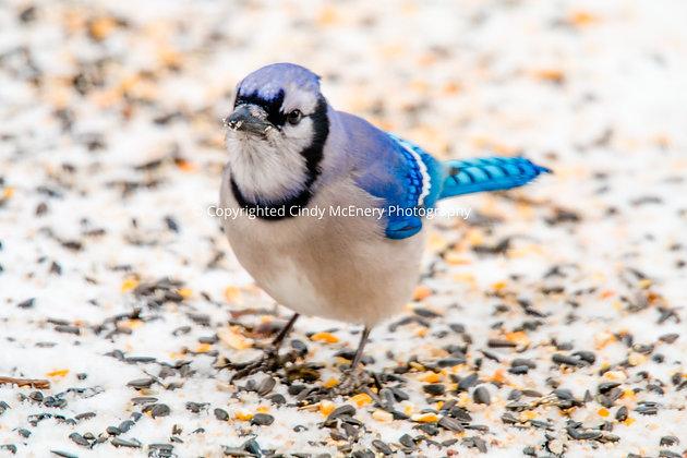 Winter Blue Jay #1