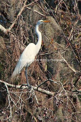 Jekyll Island Heron #3