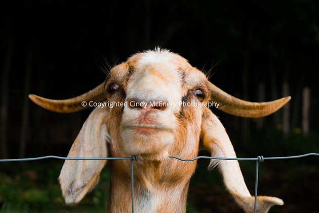 Apple Hill Goat #4