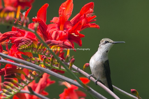 Hummingbird #23