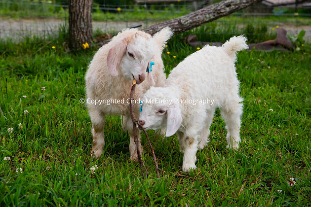 Apple Hill Goat #5
