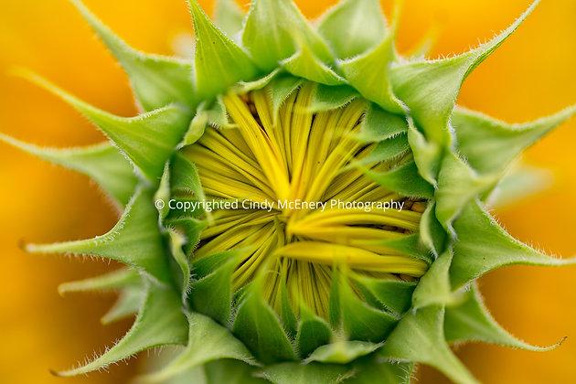 Raleigh Sunflowers #16