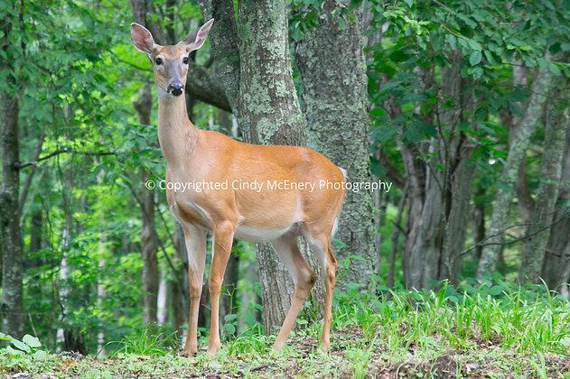 Banner Elk Deer #1