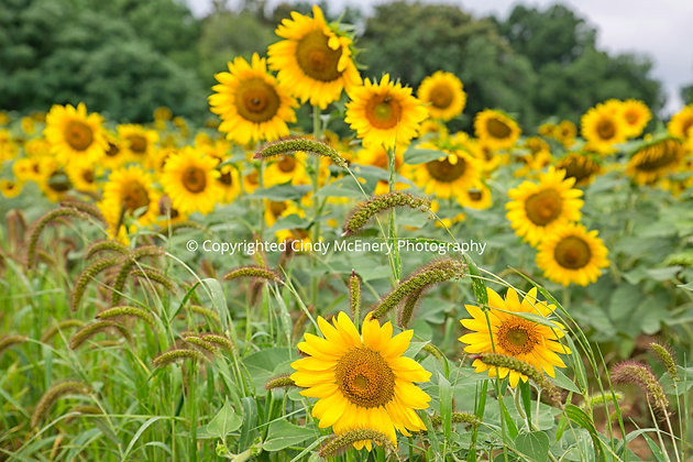 Raleigh Sunflowers #7