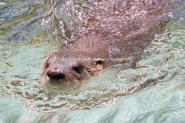 Grandfather Otter #2