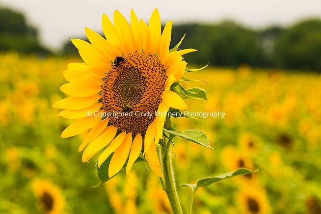 Raleigh Sunflowers #15