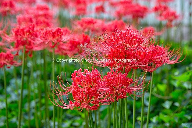 Colonial Williamsburg Flower #1