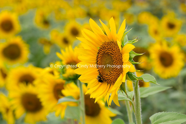 Raleigh Sunflowers #9