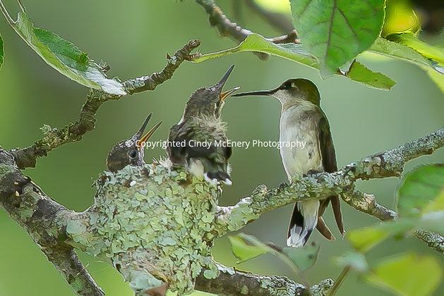 Hummingbird #10