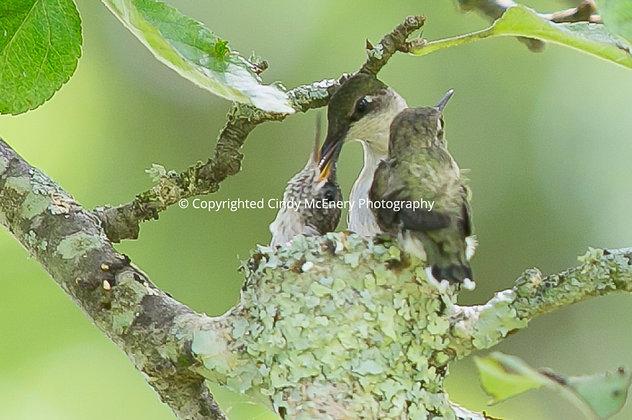Hummingbird #1