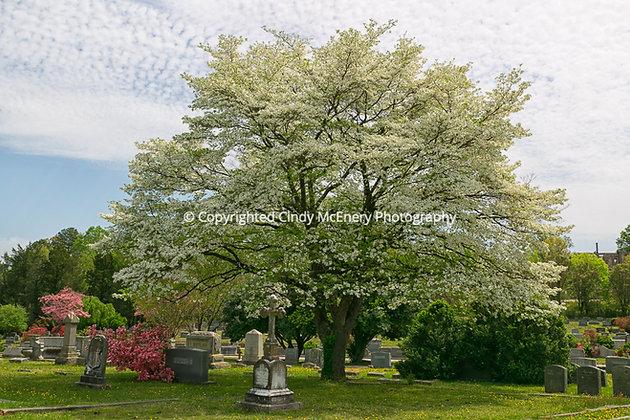 Tree #3 | Oakwood