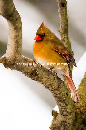 Winter Cardinal #2