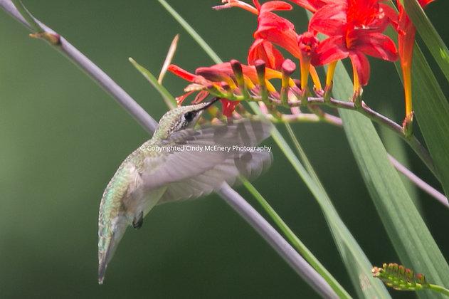 Hummingbird #22