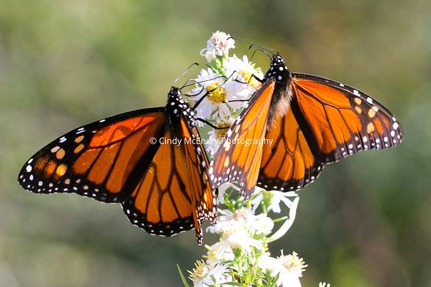 Butterflies #9
