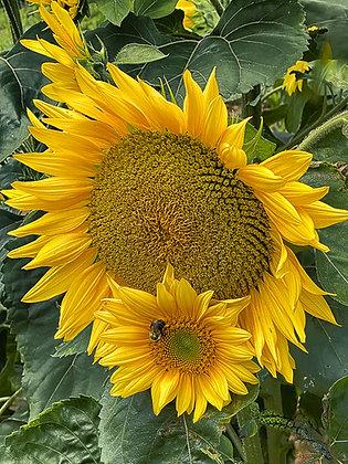 Banner Elk Sunflowers #1