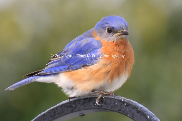 Bluebirds #3