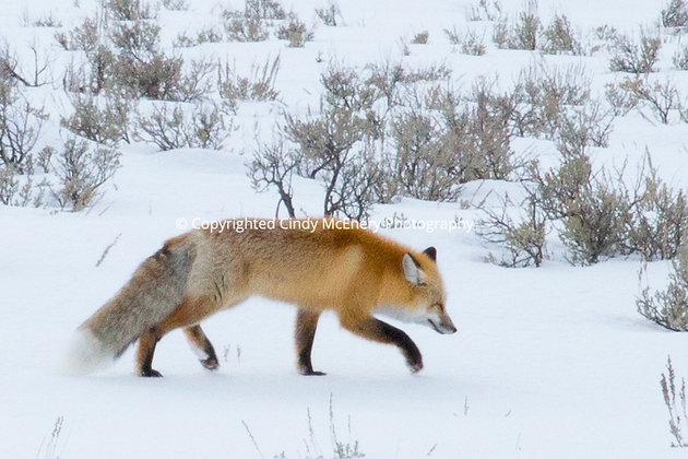 Yellowstone Fox #2