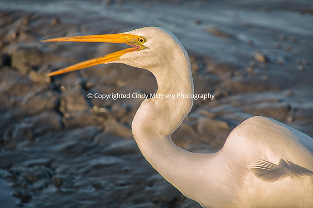 Jekyll Island Heron #8