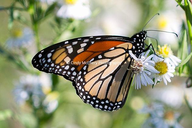 Butterflies #7