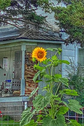 Banner Elk Sunflower #6