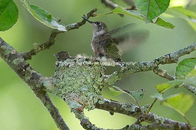 Hummingbird #7