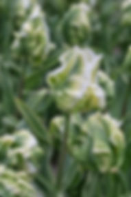 2019 Hoorn Windfarm and Tulip Farm (63 o