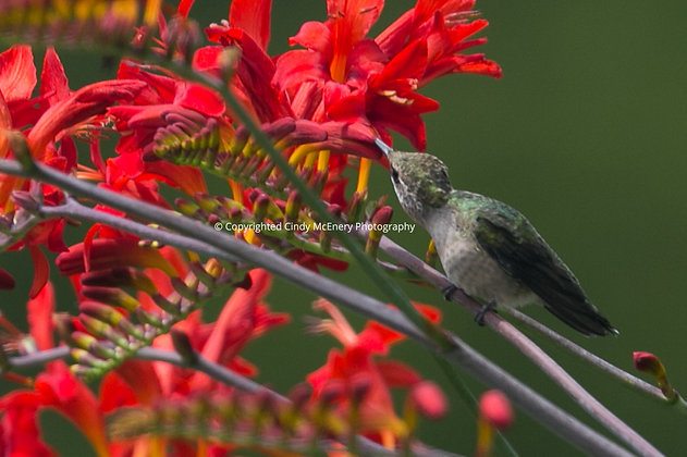 Hummingbird #20