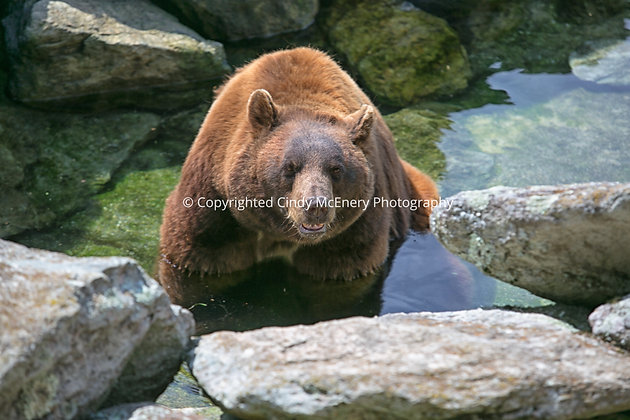 Grandfather Bear #2