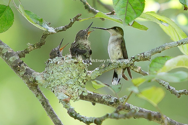 Hummingbird #9