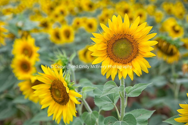 Raleigh Sunflowers #4