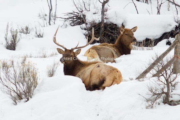 Colorado Elk #1