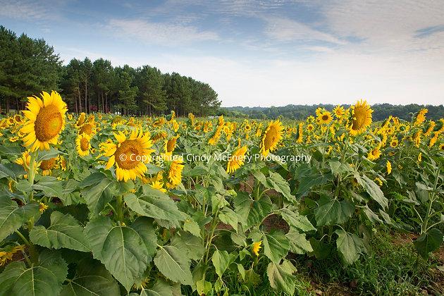 Raleigh Sunflowers #13