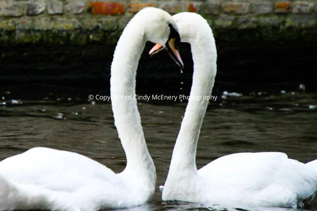 Bruge Swans #2