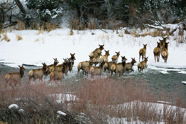 Colorado Elk #2
