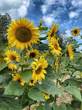 Banner Elk Sunflowers #4